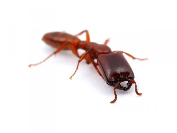 Африканский муравей-мародер